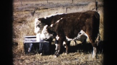 1953: cows in a pasture licking a salt lick SOUTH DAKOTA Stock Footage