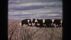 1953: a large group of cows grazing in a wide open field SOUTH DAKOTA Stock Footage