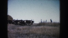 1953: a rancher moves a small herd of hereford cattle through a pasture gate Stock Footage