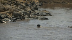 Crocodile chasing a young wildebeest in the mara river, kenya Stock Footage