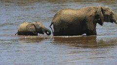 Close up of an elephant calf and mother crossing the mara river Stock Footage