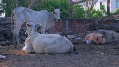 Herd of white zebus with one pig in a farmyard ( close up ) Stock Footage