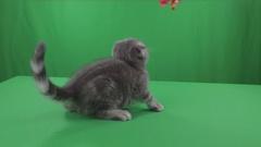 Beautiful little kitten Scottish Fold on Green Screen Stock Footage