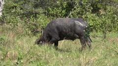 4k Wild buffalo close up in Rinca island mountain vegetation landscape Indonesia Stock Footage