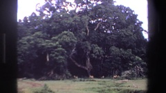 1969: a tilt of a large tree with animals under it SOUTH AFRICA Stock Footage