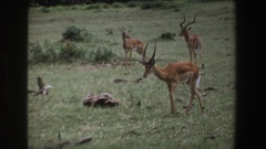 1969: small herd of antelope grazing calmly in field. SOUTH AFRICA Stock Footage