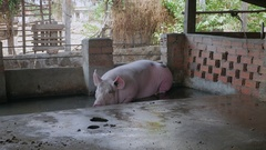 Sow pig lying down in water inside a pen Stock Footage
