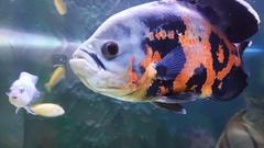 Oscar fish - Astronotus ocellatus Stock Footage