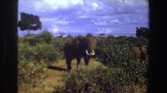 1969: a mother elephant with calves. SOUTH AFRICA Stock Footage