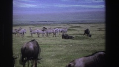 1969: herd of animals grazing in open land SOUTH AFRICA Stock Footage
