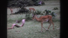 1969: gazelle-like ungulates in a herd and a baboon SOUTH AFRICA Stock Footage