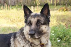 Alert Dog Stock Photos
