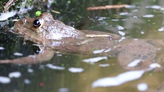 Tropical frog floating in the water in the canal. Stock Footage