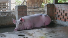 Sow pig lying down in water inside a pen ( close up ) Stock Footage