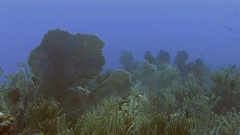 Reef and sea fan in Caribbean sea Stock Footage