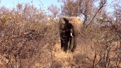 Elephant Bull Showing Aggresion Stock Footage