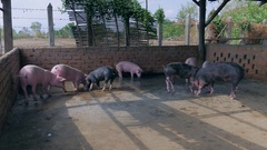 Drove of pink and black pigs in water inside a pen Stock Footage