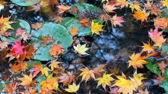 Colorful red, orange, and yellow autumn maple leaves falling into a lily pond Stock Footage