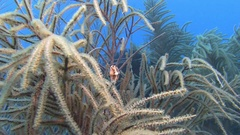 Flamingo nudibranch on gorgonian in Caribbean sea Stock Footage