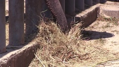 Close-Up Elephant Eating Dry Grass in a Cage at the Zoo Stock Footage
