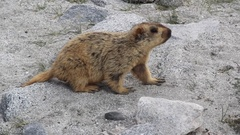 Yellow-Bellied Marmot in Ladakh Mountain(India). Stock Footage