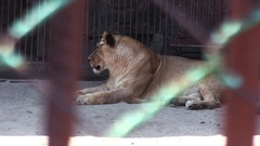 Tigress Turns His Head And Stares In Cage Stock Footage