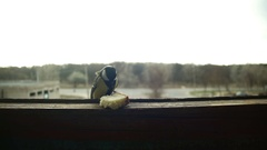 Bird Titmouse Eats Bread on a Wooden Window Sill. Slow Motion Stock Footage