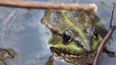Stroking His Stick on the Back of Frog in the River Stock Footage