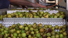 Many pears in the factory, production of perry cider and apple juice Stock Footage