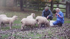 4K Farmer with vet out in the field checking on flock of sheep Stock Footage