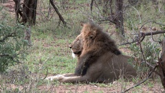 Male Lion (Panthera leo) relaxing between some shrubs, lock shot in high angle Stock Footage