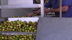 Pears are sorted by hand, production of perry cider and apple juice Stock Footage