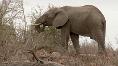 African Elephant eating twigs, full body, lock shot in low angle Stock Footage