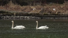 Beautiful Swans Floating Silently on Pristine Waters Stock Footage