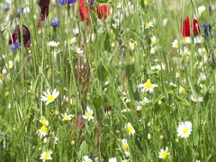 Poppy flowers, camomile and blue gladiolus on the spring field. Stock Footage