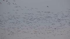 Geese. Spring flocks. Stock Footage