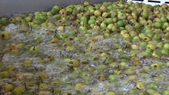 Pears in cider production , washing before Scratting and pressing Stock Footage