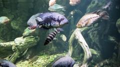 Exotic marine fish in the aquarium Stock Footage