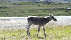 Young reindeer walking and laying down Stock Footage