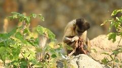 Capuchin monkey eating on the stone Stock Footage