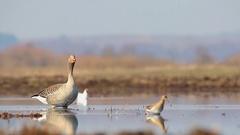 Greylag goose. Gaggle. Stock Footage