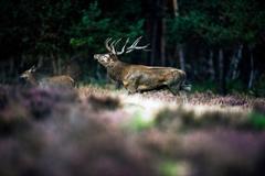 Roaring red deer in mating season. National Park Hoge Veluwe. Stock Photos