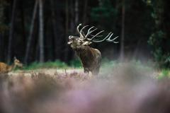 Roaring red deer stag with big antlers standing in heath. Stock Photos