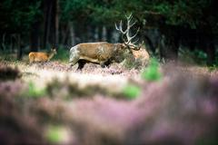 Red deer stag tossing with antlers in rutting season. National Park Hoge Veluwe. Stock Photos
