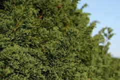 Closeup of thuja tree as nature background Stock Photos