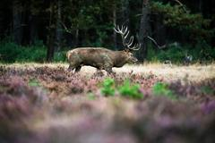 Red deer stag walking in heath during mating season. National Park Hoge Veluw Stock Photos
