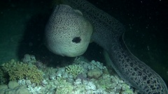 Giant Morays Agression, Red Sea at night Stock Footage