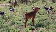Female Blackbuck (Antilope Cervicapra) Stock Footage