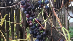 Black grapes on a fench Stock Footage