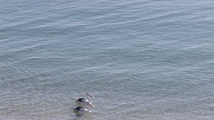 WS HA PAN Two pelicans gliding along water Stock Footage